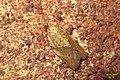 Light-brown apple moth m. (BG) (35735573770).jpg