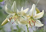 Lilium-'Sweet-Surrender'.jpg