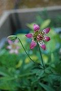 Lilium parvum 2.jpg