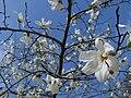 Lily magnolia 白木蓮(ハクモクレン).jpg
