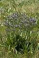 Limonium vulgare baie-authie 80 13072007 11.jpg
