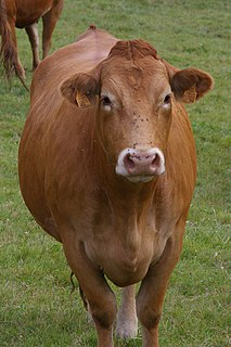 Limousin cattle cattle breed