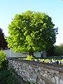 Linde auf dem Friedhof (Ostheim) 10.JPG