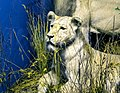 Lion Panthera Leo (53549618).jpeg