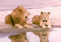 Lion and lioness.png