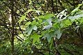 Liquidambar styraciflua in Eastwoodhill Arboretum (2).jpg
