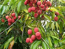 Litchi chinensis fruits.JPG