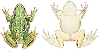 Green and golden bell frog - Profile and dorsal views of a green and golden bell frog