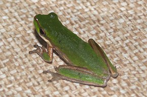 Description de l'image Litoria bicolor.jpg.