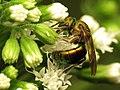 Little Sweat Bee (31031013353).jpg