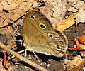 Little Wood Satyr, ventral.jpg