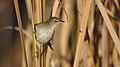 Little rush warbler, Bradypterus baboecala, at Marievale Nature Reserve, Gauteng, South Africa (40842142860).jpg