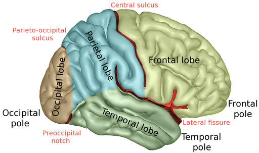 Memory and the Brain. Diagram showing each lobe of the brain a different colour