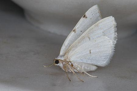 Lomographa bimaculata, Lodz(Poland)01(js).jpg