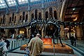 London - Cromwell Road - Natural History Museum 1881 by Alfred Waterhouse - Central Hall - Diplodocus Middle.jpg