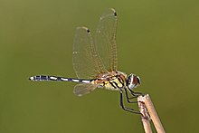 Long-legged marsh glider (Trithemis pallidinervis) male Rajasthan.jpg