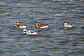 Long-tailed Ducks (Clangula hyemalis) (12548862164).jpg