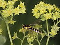 Long hoverfly visits a soft lady's mantle (9542537587).jpg