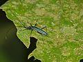 Longhorn Beetle (Chloridolum sp.) (8093430202).jpg