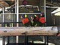 Lorikeets at the Aquarium of the Pacific in Long Beach, California.jpg