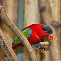 Lorius domicella -Artis Zoo -Netherlands-8c-3c.jpg