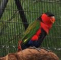 Lorius lory -Cincinnati Zoo, Ohio, USA-8a (5).jpg