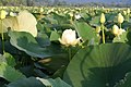 Lotus (8099904413).jpg
