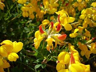 <i>Lotus corniculatus</i> species of flowering plant