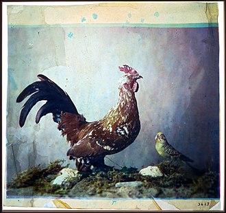Louis Arthur Ducos du Hauron - Image: Louis Ducos du Hauron Still life with rooster Google Art Project