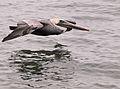Low Altitude Pelican.jpg