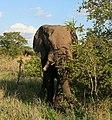 Loxodonta africana 5.jpg