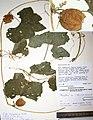 Luffa saccata herbarium.jpg