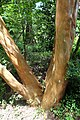 Luma apiculata kz12.jpg