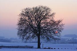 Lutherbuche im Winter...2012 Januar 1935WI.jpg