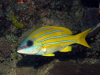 Bluestripe snapper species of fish