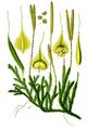 Lycopodium clavatum Thomé.png