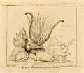 Lyra (Macnura lyra. Viellot) (18 Abril 1849) - D. Pedro V de Portugal.png