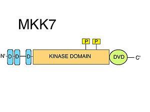 MAP2K7 - Image: MKK7