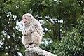 Macaca fuscata in Ueno Zoo 2019 29.jpg