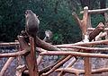 Macaca radiata (common Indian monkey) at IG Zoological park in Visakhapatnam 02.JPG