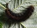 Macrothylacia rubi (larva) - Fox moth (caterpillar) - Коконопряд малинный (гусеница) (42683441200).jpg