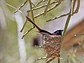 Madagascar Paradise Flycatcher RWD2.jpg