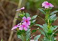 Madagascar Periwinkle (Catharanthus roseus) (11755235733).jpg