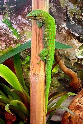Madagaskar-Taggecko (Phelsuma madagascariensis madagascariensis), Männchen, adult, im Terrarium