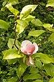 Magnolia .jpg