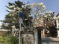 Magnolia denudata in Yatsushiro, Kumamoto.jpg