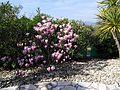 Magnolia flowering.jpg