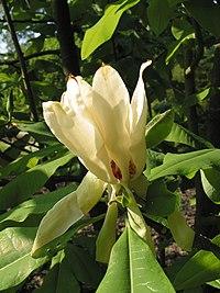 Magnolia tripetala JPG1b