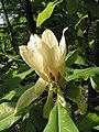 Magnolia tripetala JPG1b.jpg