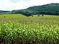 Maize by The Penyard 2 - geograph.org.uk - 1437048.jpg